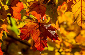 Photo Autumn Closeup Maple Foliage Nature