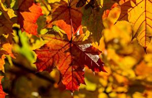Bilder Herbst Hautnah Ahorne Blattwerk Natur