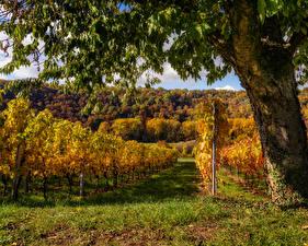 Photo Autumn Germany Vineyard Trees Shrubs Grass Baden-Wuerttemberg Nature