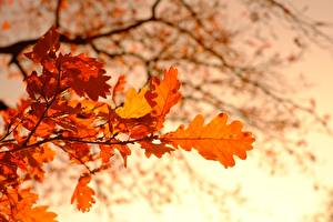 Wallpaper Autumn Oak Blurred background Branches Foliage Nature
