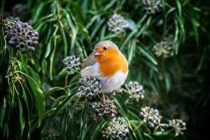 Photo Birds Berry Blurred background Branches European robin