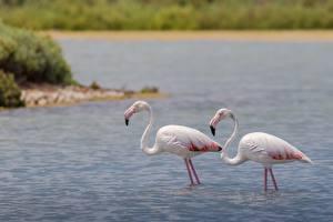 Papéis de parede Aves Flamingos Água Dois Animais imagens