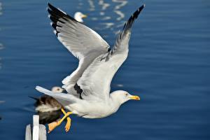 Images Birds Gull Flight Wings