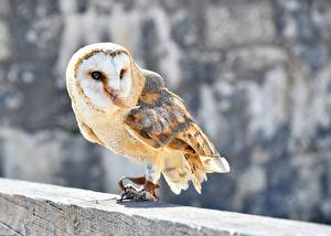 Images Birds Owl Blurred background Common Barn Owl animal