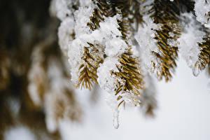 デスクトップの壁紙、、ボケ写真、枝、雪、トウヒ属、氷、