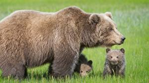 Wallpapers Bear Brown Bears Cubs Three 3