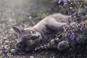 Wallpapers Cats Gray Paws Laying