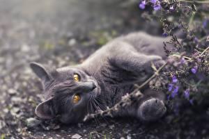 Hintergrundbilder Katze Graue Pfote Liegen
