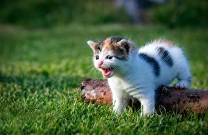 Fotos Katze Kätzchen Gras Weiß