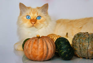 Pictures Cat Pumpkin Gray background Animals