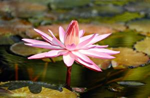 Photo Closeup Lilium flower
