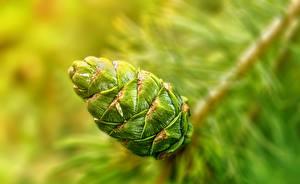 Images Closeup Conifer cone Green Nature