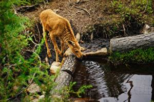 Photo Cubs Moose Branches Drinking water