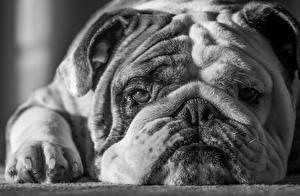 Bilder Hunde Bulldogge Schnauze Schwarzweiss Mike Melnotte Tiere