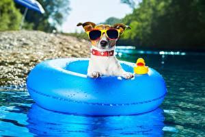 Fondos de escritorio Perro Verano Jack Russell Terrier Gafas Alimentos