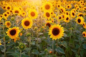 Wallpaper Fields Sunflowers Bokeh