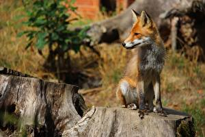 Pictures Foxes Tree stump Bokeh Ginger color Sit Animals