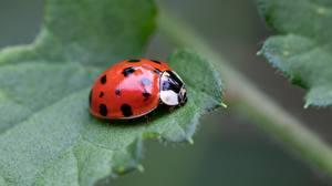 Photo Ladybugs Closeup Foliage animal