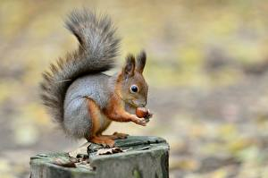 Pictures Nuts Squirrels Tree stump Blurred background Animals