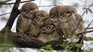 Image Owls Birds 5 Animals