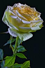 Bureaubladachtergronden Roos Close-up Zwarte achtergrond Bloemen