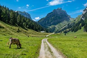 Picture Switzerland Mountains Forest Roads Cows Grass Canton Bern Nature