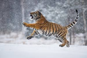 Image Tigers Snow Petr Simon