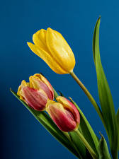 Image Tulips Closeup Colored background Three 3 Drops Flowers