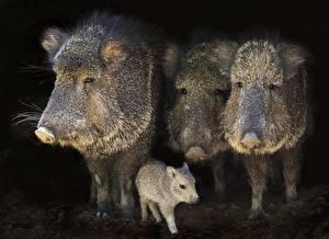 Tapety Dzik euroazjatycki Młode zwierzęta Cztery 4 Zwierzęta zdjęcia zdjęcie