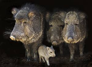 Wallpaper Wild boar Cubs Four 4 Animals