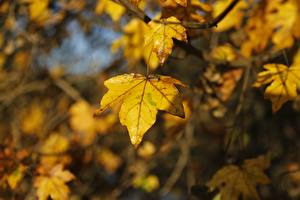 Pictures Autumn Closeup Blurred background Acer Foliage Nature