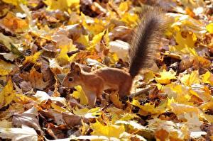 Picture Autumn Squirrels Foliage Tail Animals