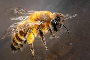 Обои для рабочего стола Пчелы Вблизи Животные