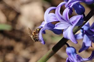 Bilder Bienen Nahaufnahme Insekten Unscharfer Hintergrund ein Tier
