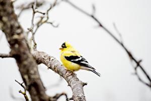 Bakgrundsbilder på skrivbordet Fågel Bokeh Grenar Gul American Goldfinch Djur