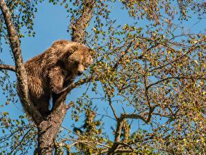 デスクトップの壁紙、、クマ、ヒグマ、枝、木、動物