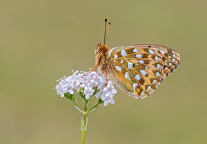 Picture Butterflies Insects Closeup dark green fritillary