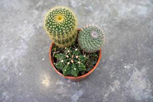 Images Cactuses Plant pot