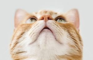 Bilder Katze Großansicht Blick Schnauze Nase Tiere