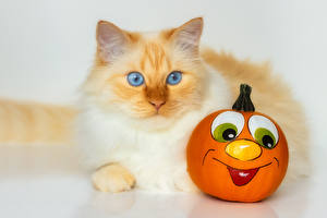 Photo Cat Pumpkin animal