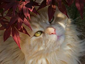 Fotos Katzen Schnauze Starren ein Tier