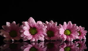 Pictures Chrysanthemums Black background Pink color Drops Reflection flower