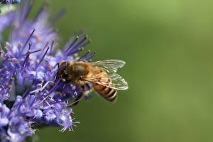 Фотографии Крупным планом Пчелы Насекомое Размытый фон