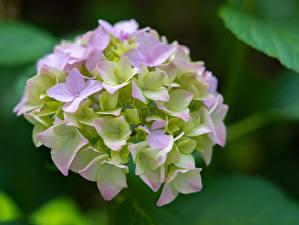 Photo Closeup Hydrangea Bokeh flower