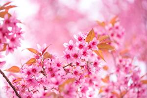 Pictures Closeup Sakura Pink color Branches flower