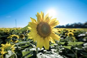 Desktop hintergrundbilder Großansicht Sonnenblumen Gelb Blüte
