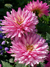 Wallpapers Dahlias Closeup Pink color Flowers
