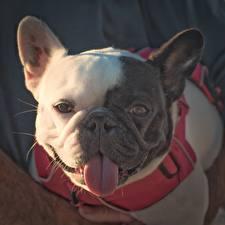Hintergrundbilder Hunde Französische Bulldogge Zunge Schnauze Blick ein Tier
