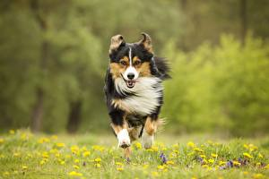 Wallpapers Dog Run Grass Front animal