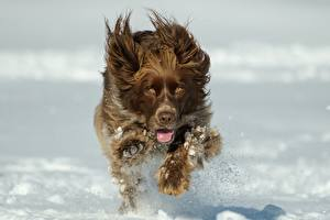 Wallpapers Dogs Spaniel Run Snow Water splash Bokeh Animals